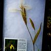 Yellowflag Iris (Iris pseudoacorus)