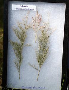 Saltcedar (Tamariz ramosissima)