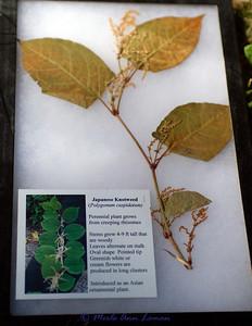 Japanese Knotweed (Polygonum cuspidatum)
