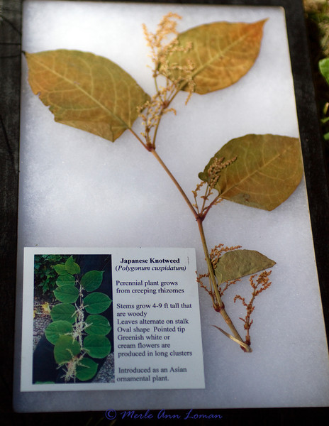 Japanese Knotweed (Polygonum cuspidatum)