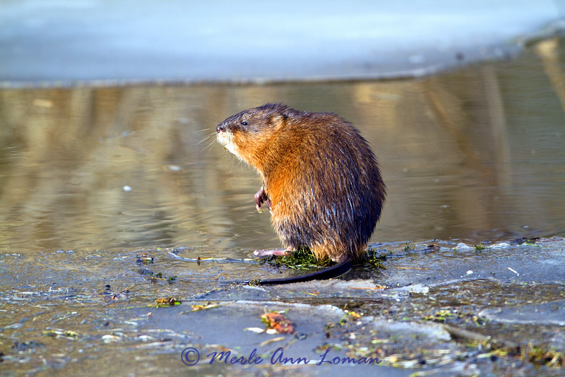Muskrat - Ondatra zibethicus, the graphics in the water and lighting differ a little in this series of 3 photos.