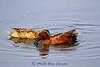 "Cinnamon Teal - Anas cyanoptera - <a href=""http://fieldguide.mt.gov/detail_ABNJB10140.aspx"">http://fieldguide.mt.gov/detail_ABNJB10140.aspx</a>"