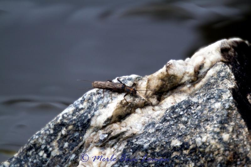 Stonefly!
