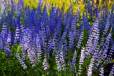 2011, a great year for Lupine in western Montana