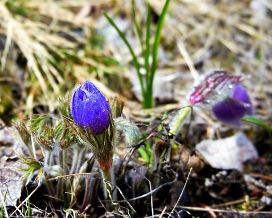 Pasqueflower or Anemone