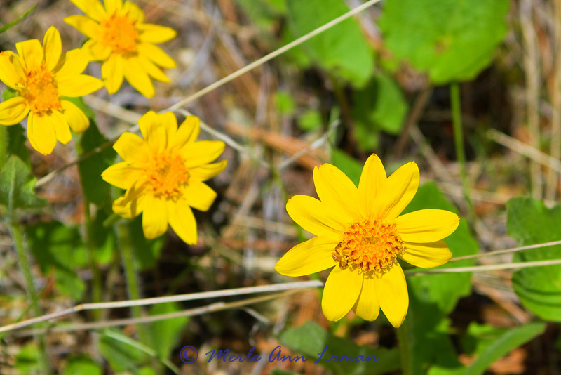 Arnica, May 5, 2012 up Gash Creek in the Bitterroot Mountains