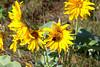 Arrowleaf Balsamroot (Balsamorhiza sagittata)