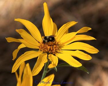 Arrowleaf balsamroot and bee