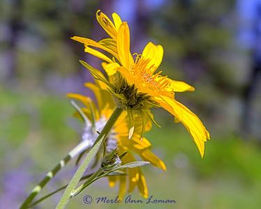 Arrowleaf Balsamroot Image 6589