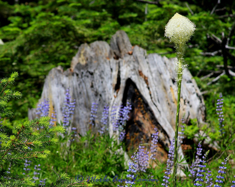 beargrass and Lupine