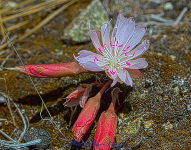 Bitterroot (Lewisia rediviva) south of Sweathouse Creek in the Bitterroot Mountains on6-11 - last flower I could find up here. Image 5031