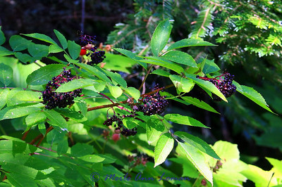 Elderberry with some red thimbleberries mixed in. Grand Fir (flat needle arrangement) in the background.