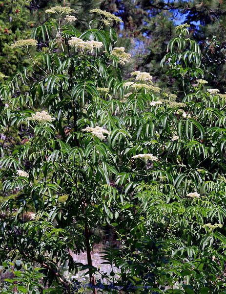 Blue Elderberry (Sambucus cerulea Raf.)