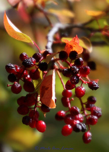 Chokecherry in the fall