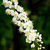 Chokecherry - Prunus virginiana