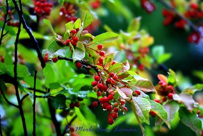 Chokecherry (Prunus virginiana L.)