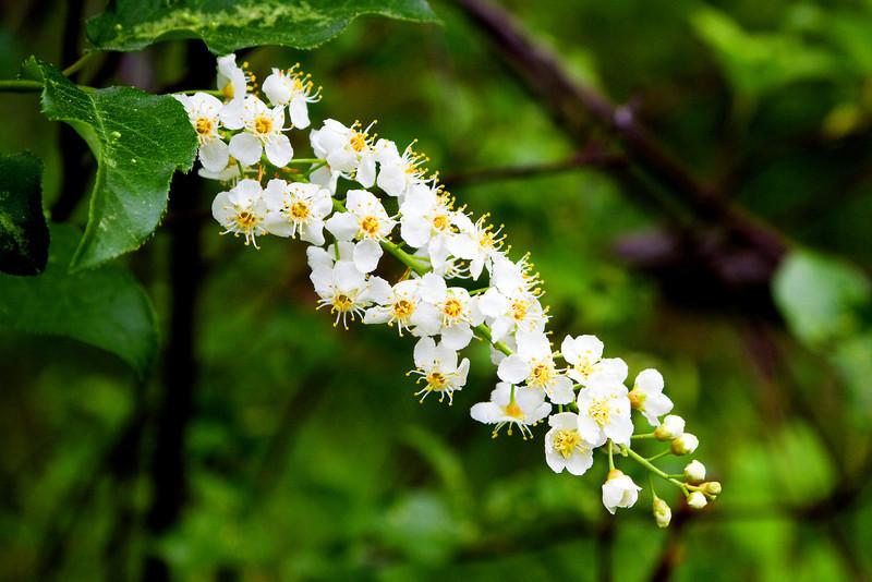 Chokecherry - Prunus virginiana