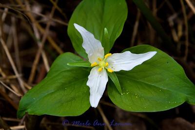 Western Trillium - Trillium ovatum - http://fieldguide.mt.gov/detail_PMLIL200M0.aspx