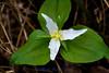 "Western Trillium - Trillium ovatum - <a href=""http://fieldguide.mt.gov/detail_PMLIL200M0.aspx"">http://fieldguide.mt.gov/detail_PMLIL200M0.aspx</a>"
