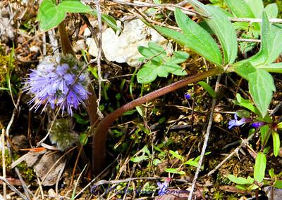 Dwarf Waterleaf - Hydrophyllum capitatum - May 5, 2012