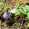 Dwarf Waterleaf - Hydrophyllum capitatum<br /> <br />                             Dwarf Waterleaf - Hydrophyllum capitatum