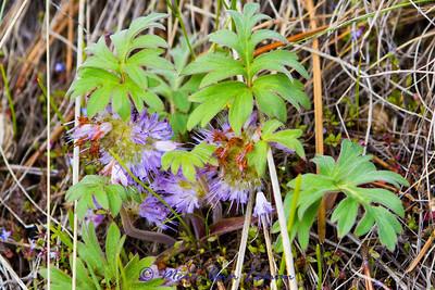 Dwarf Waterleaf - Hydrophyllum capitatum                              Dwarf Waterleaf - Hydrophyllum capitatum