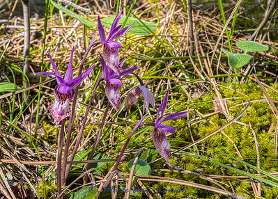 Fairyslipper - Calypso bulbosa IMG_3795 5x7