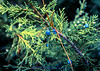 Juniper in the Bitterroot Oct 1