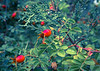 Rose hips in the Bitterroot - Oct 1. See the bug at the bottom of the photo? I didn't until I processed it.