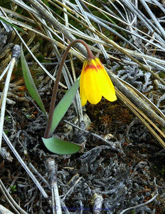 Yellowbell in pine needles