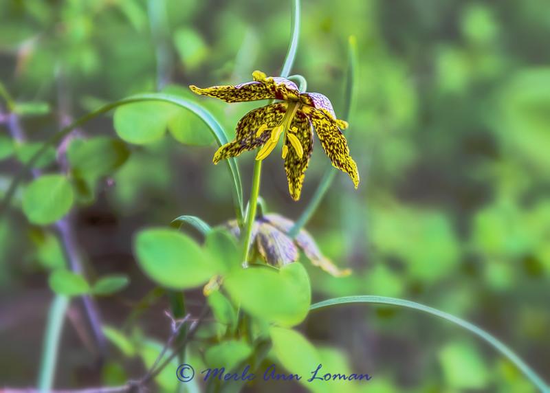 Chocolate Lily - Fritillaria atropurpurea IMG_3065