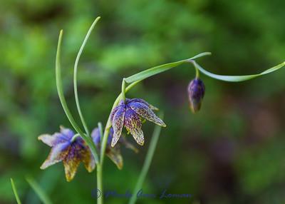 Chocolate Lily - Fritillaria atropurpurea IMG_3110