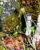 Chocolate Lily - Fritillaria atropurpurea