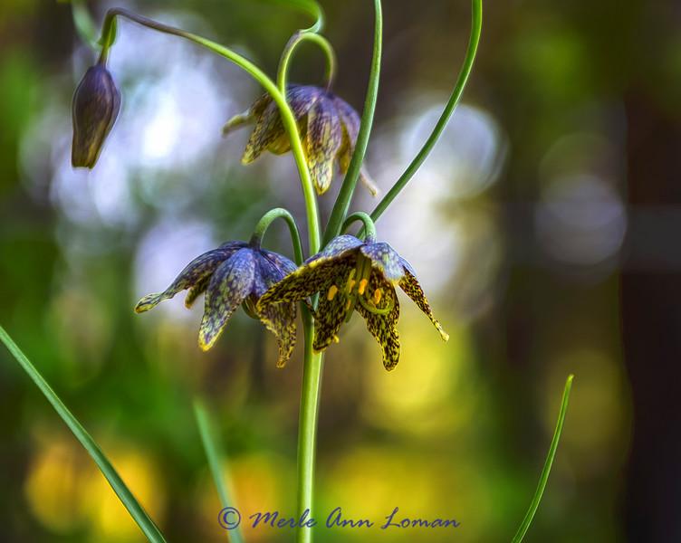 Chocolate Lily - Fritillaria atropurpurea IMG_3098