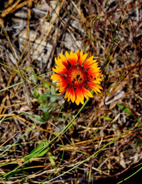 Indian Blanket Flower (Firewheel) Gaillardia pulchella