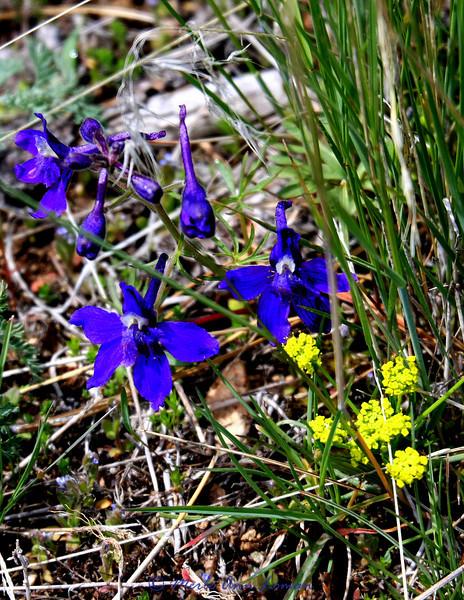 Little Larkspur - Delphinium bicolor