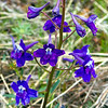 Little Larkspur - Delphinium bicolor