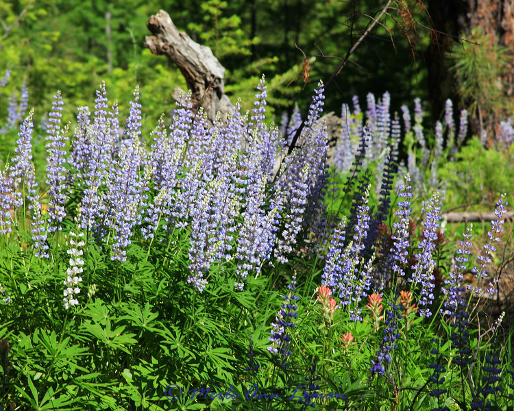 Lupine and Indian Paintbrush