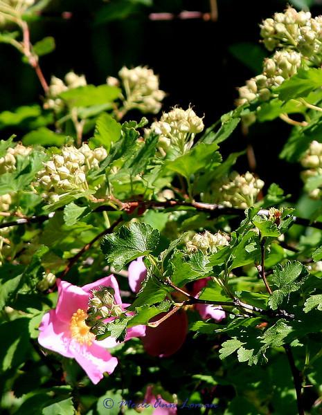 Mallow-leaf Ninebark - Physocarpus malvaceus