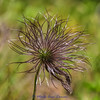 Pasqueflower going to seed