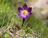 20140502-IMG_4333-H-Pasqueflower