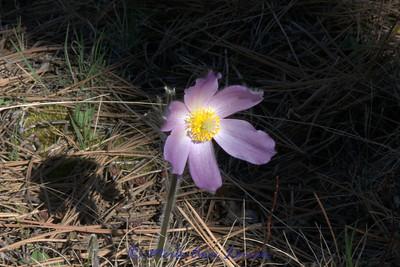Pasqueflower in April