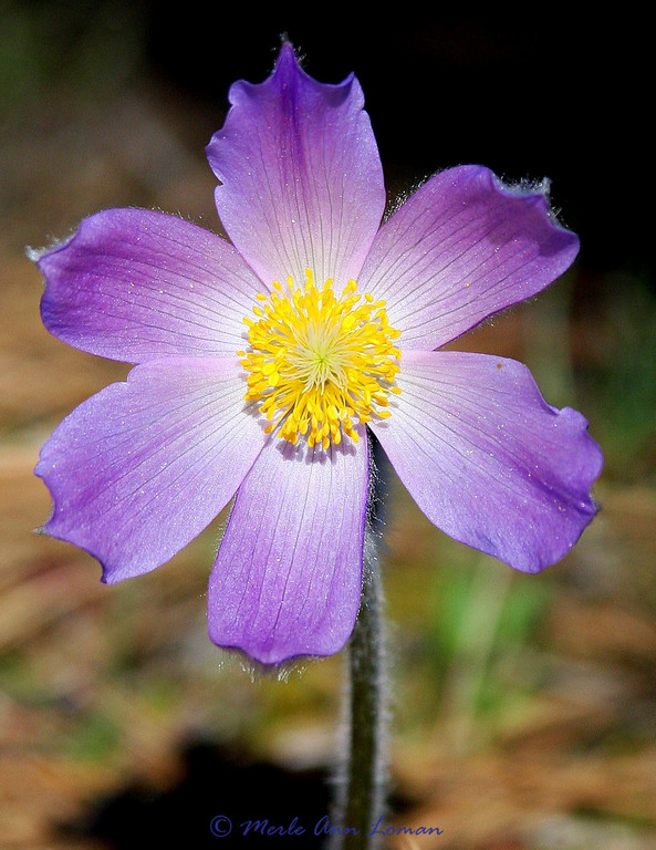 Pasque Flower, front and center