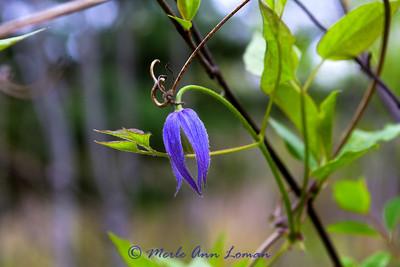4/29/2012  Purple Clematis - Clematis occidentalis - http://fieldguide.mt.gov/detail_PDRAN080J0.aspx