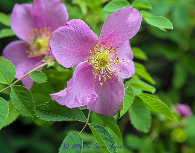 "Wild Rose, Woods' Rose, Rosa woodsii in June. Image 8074.  ¯\_(ツ)_/¯ Please share and like the A Montana View Facebook page! Thanks so much for viewing. | visit  <a href=""http://www.amontanaview.com"">http://www.amontanaview.com</a> #GottaLoveMontana, #Wildflower #Outdoors"