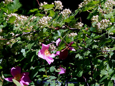Wild Rose and Ninebark