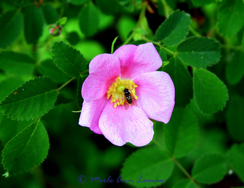 Wild rose and bee