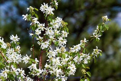 4/26/2012 Saskatoon Serviceberry - Amelanchier alnifolia, http://fieldguide.mt.gov/detail_PDROS05010.aspx