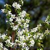 "4/26/2012 Saskatoon Serviceberry - Amelanchier alnifolia, <a href=""http://fieldguide.mt.gov/detail_PDROS05010.aspx"">http://fieldguide.mt.gov/detail_PDROS05010.aspx</a>"