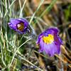 4/18/2012 Pasqueflower - Anemone patens